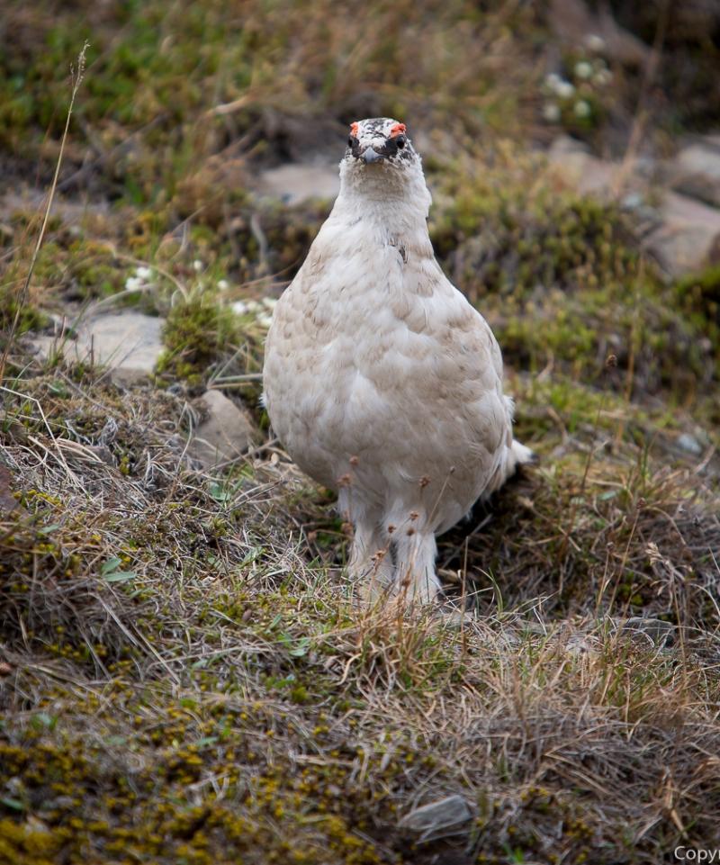 Svalbardrypa er den eneste fuglen som greier å overleve den strenge polarvinteren. Den har en meget tett fjærdrakt som strekker seg helt ned til tærne, og har en unik evne til å legge opp fettreserver om høsten.