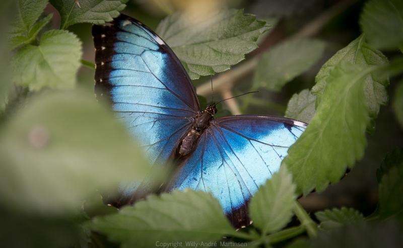 I Bornholms sommerfuglepark har de samlet et stort antall tropiske sommerfugler.