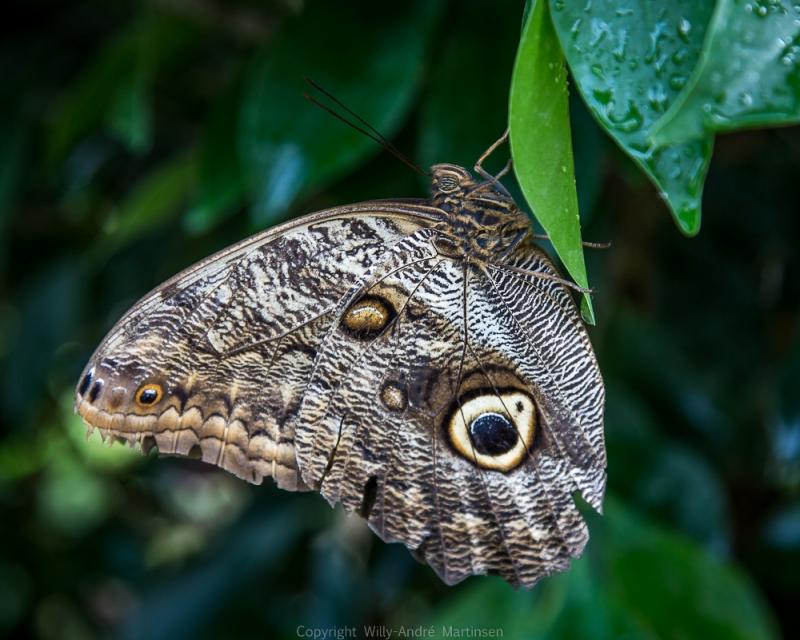 Dette er en Ugle-Øye-sommerfugl (Caligo beltrao) som har sitt opphav i Sør-Amerika.
