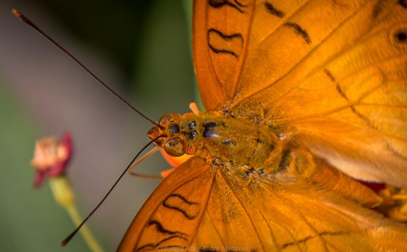 Det er både spennende og inspirerende å kunne studere sommerfugler i et avgrenset miljø der en kan følge hele utviklingen fra egg til ferdig utviklet individ.